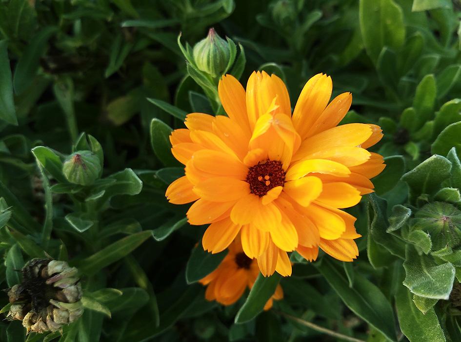 caléndula para nuestro huerto y jardín