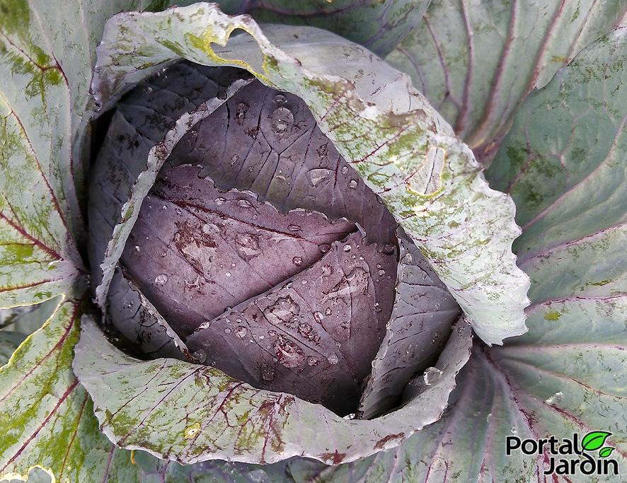 Cultivo y propiedades de la col lombarda. Portal Jardín.