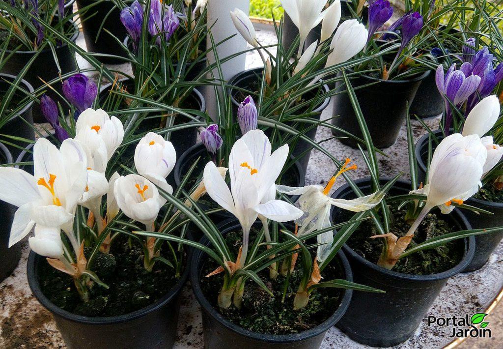 Forzar la floración de los bulbos. Portal Jardín.