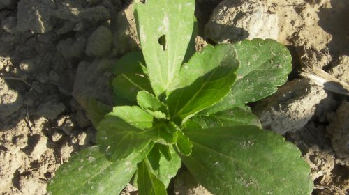 Stevia Portal Jardín