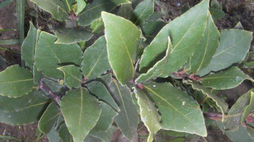Laurel Portal Jardín