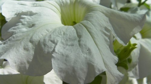 Petunia Portal Jardín