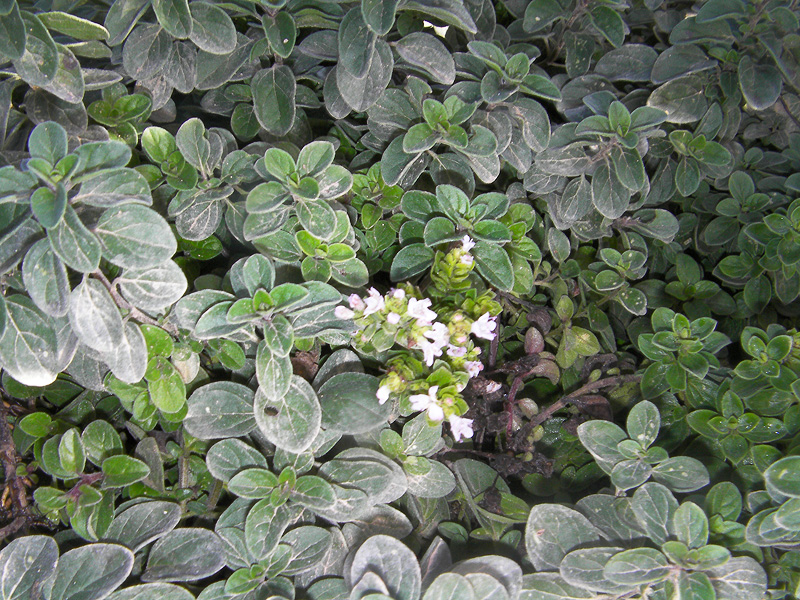 Orégano Portal Jardín