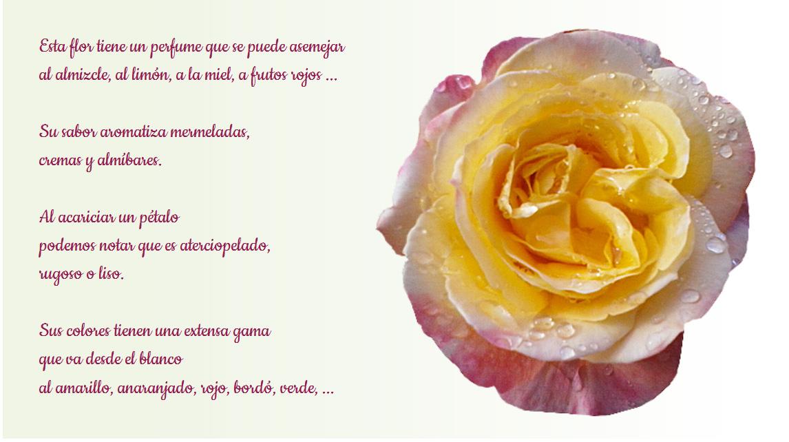 Cuidados básicos de las rosas