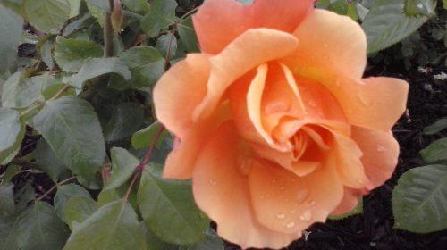 Rosa Portal Jardín