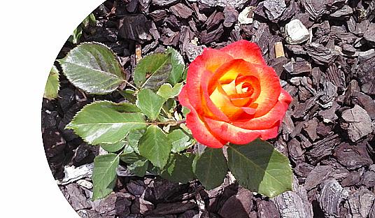 Rosas Portal Jardín
