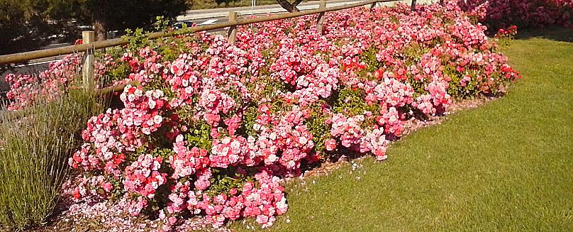 rosas9_Portal_jardin