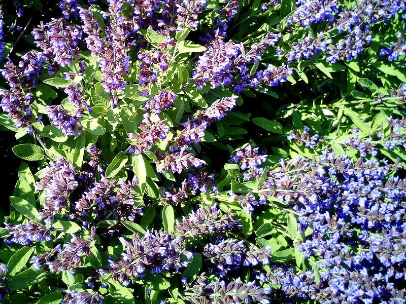 Salvia Portal Jardín