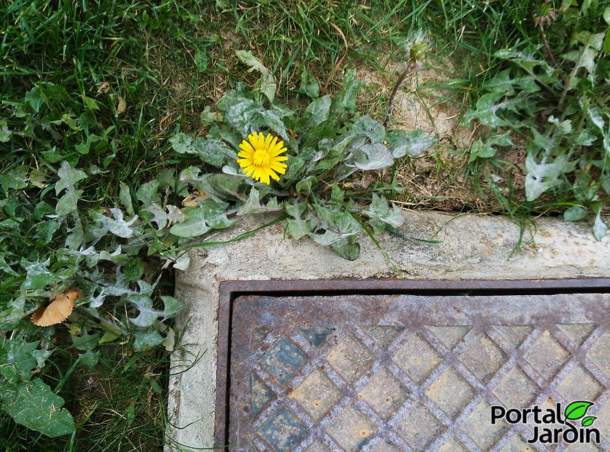 Diente de león Portal Jardín