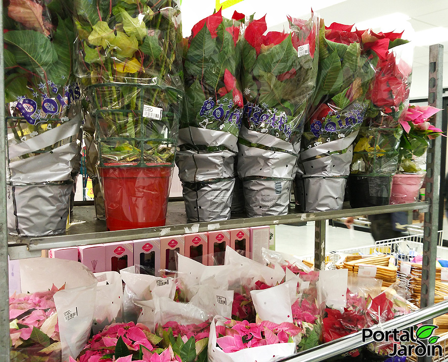 Poinsettia Flor de Pascua Portal Jardín