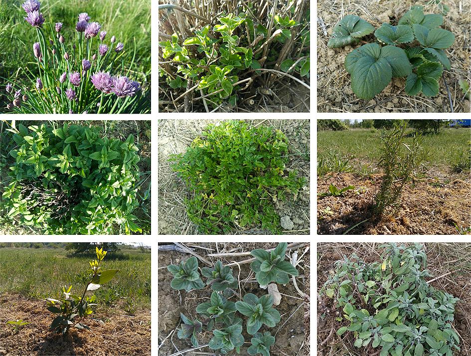 plantas aromáticas Preparando el huerto con la motoazada o mula mecánica Portal Jardín