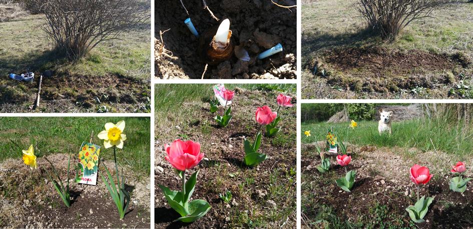 bulbos tulipanes narcisos Preparando el huerto con la motoazada o mula mecánica Portal Jardín