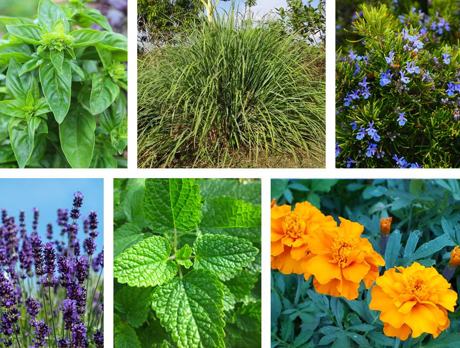 plantas anti mosquitos