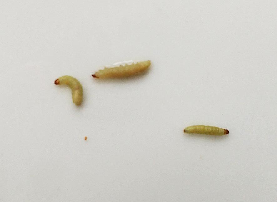 larvas en el arroz