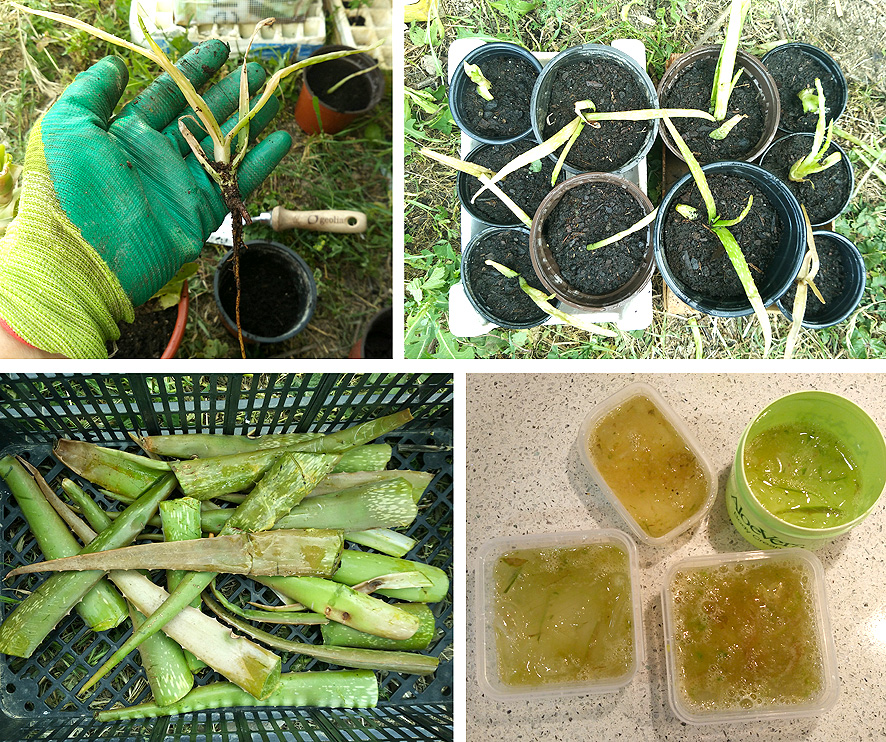 Aloe Vera cultivo y usos Portal Jardin