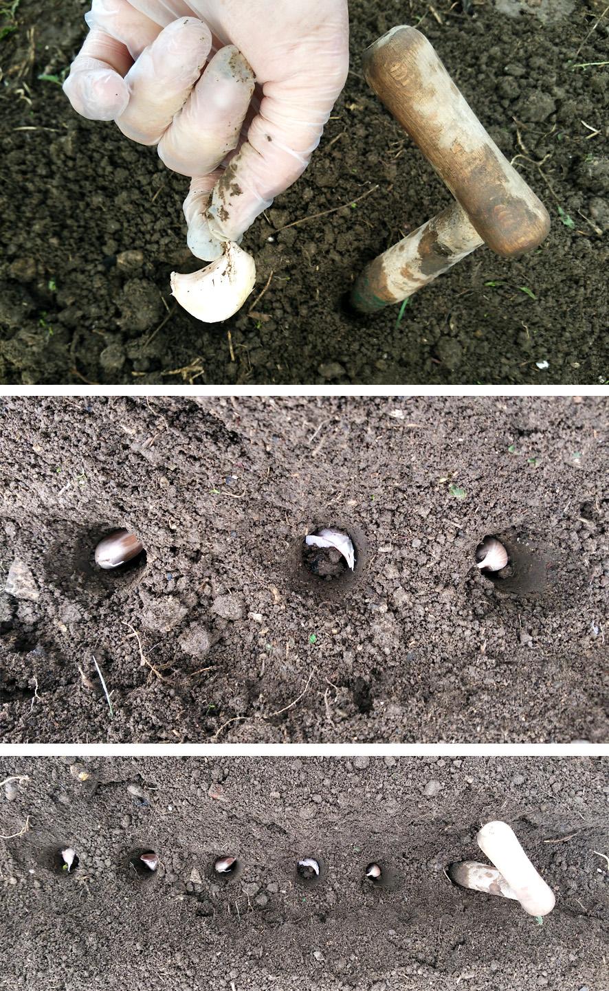 Como sembrar ajos