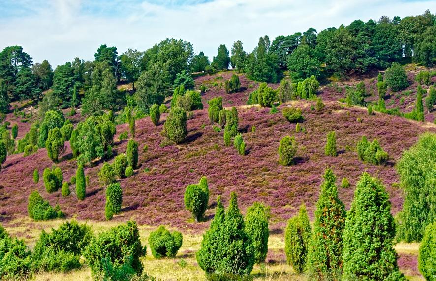 El brezo o calluna cuidados Portal Jardin