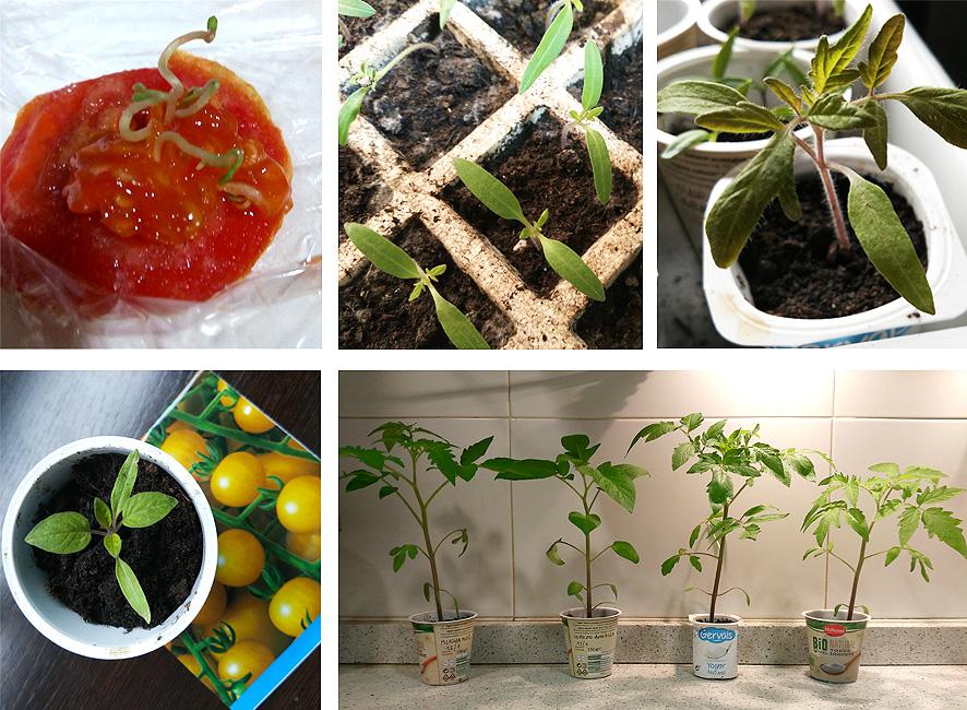 el tomate, germinación
