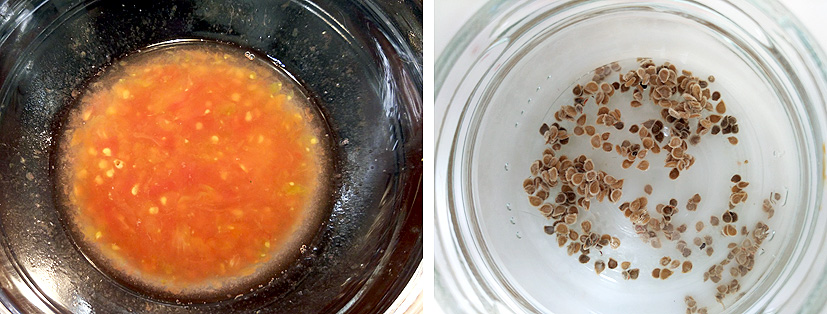el tomate, la obtención de las semillas