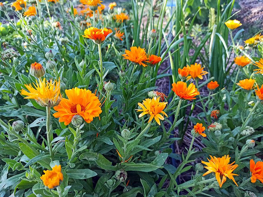 plantas para el verano caléndula
