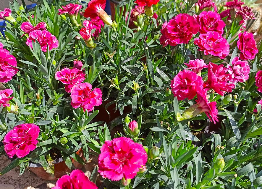 plantas para el verano clavelina