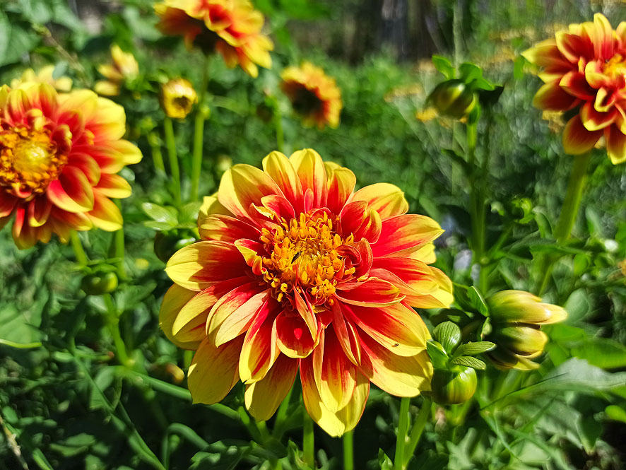 plantas para el verano dalia