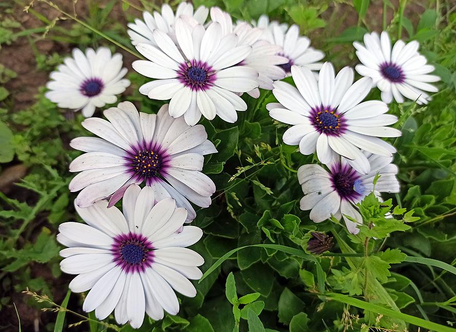 plantas para el verano dimorfoteca