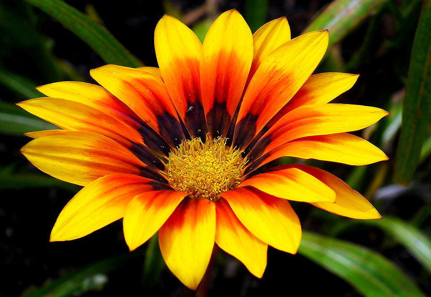 plantas para el verano gazania