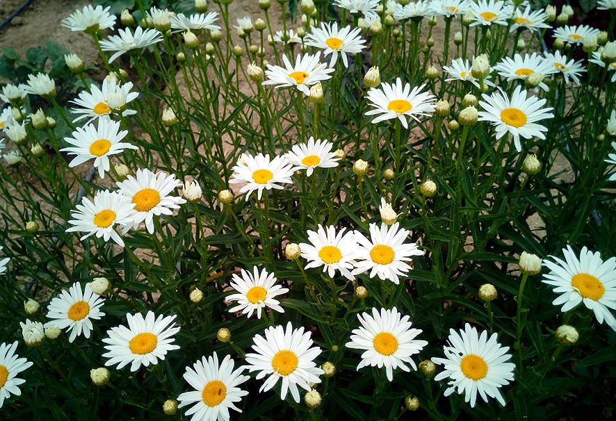 plantas para el verano margarita