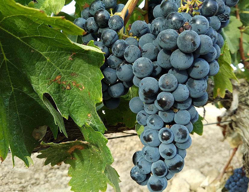 cómo cultivar viña