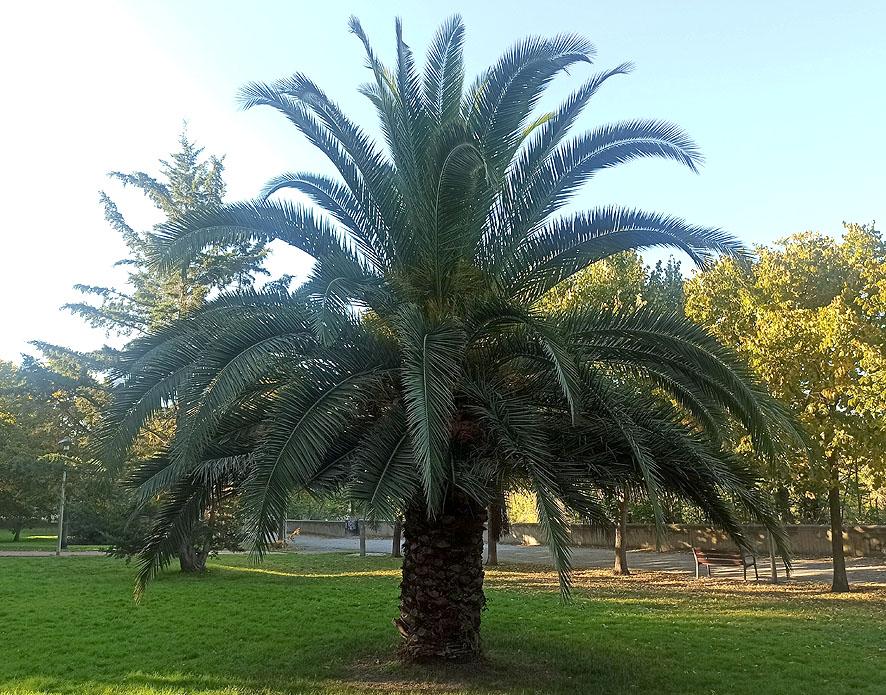 Plantas a pleno sol palmera