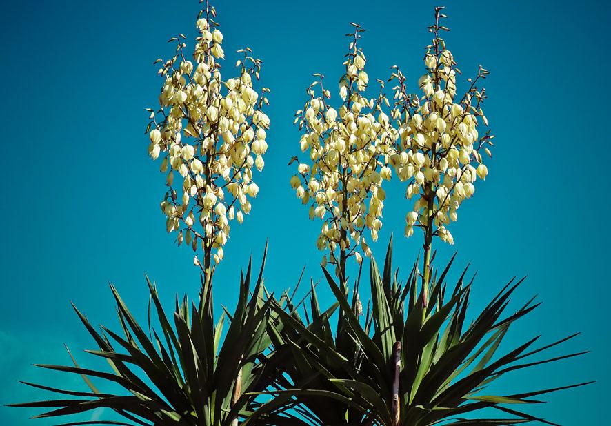 Plantas a pleno sol yucca